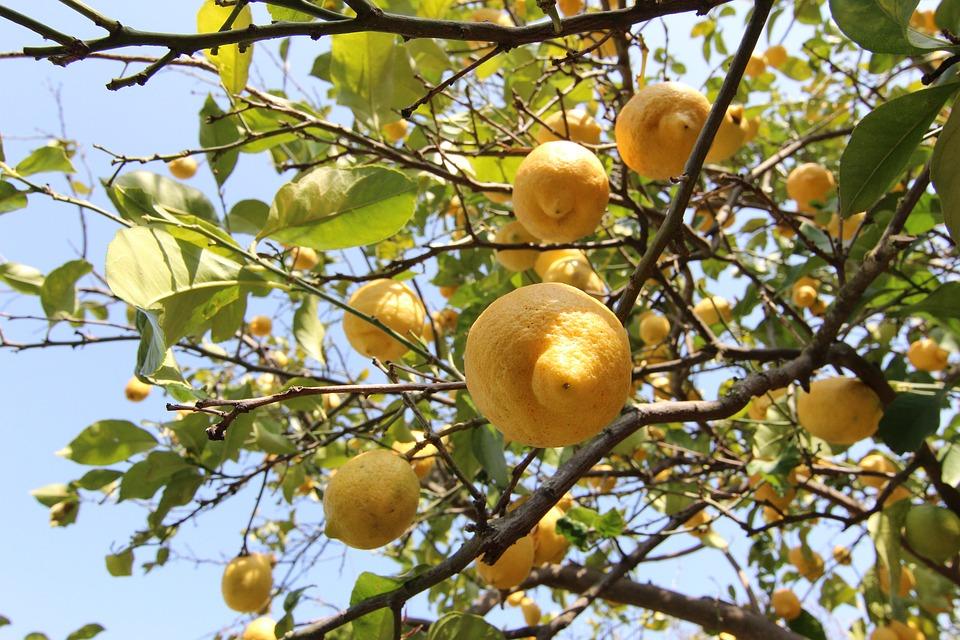 growing lemon tree