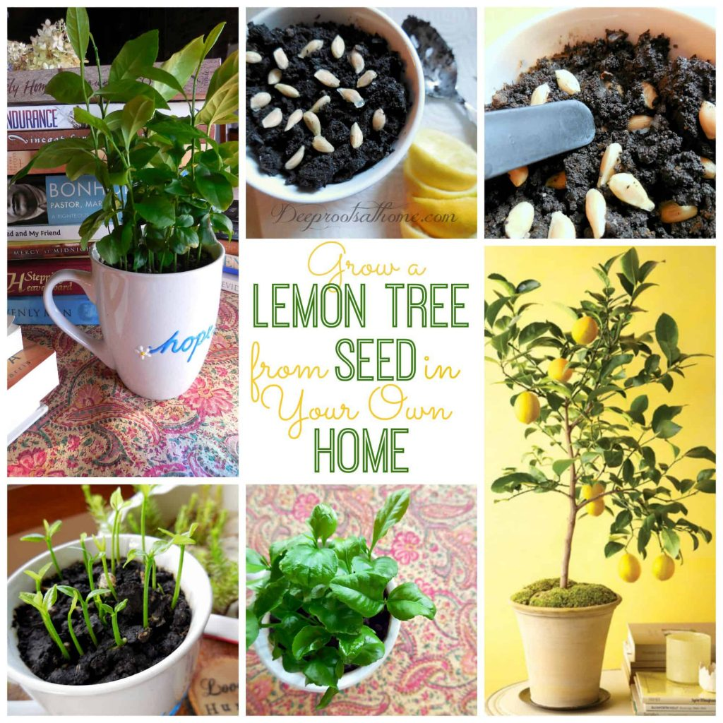 grow your lemon tree from seeds